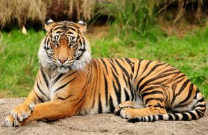 ฝันเห็นเสือ ทำนายฝัน ตีเลขจากฝันเห็นเสือ แม่ๆ โดนๆ ไม่เชื่ออย่าลบหลู่